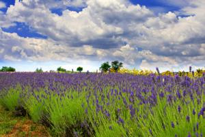a_Cache_Creek_Lavender