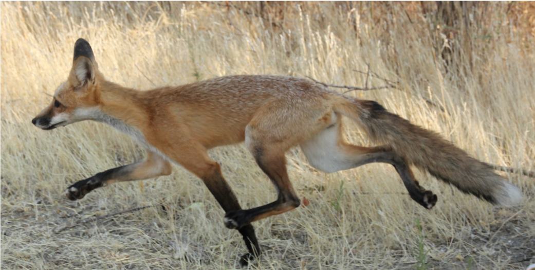 Flyway Nights: Insights into the complex heritage of Western red foxes