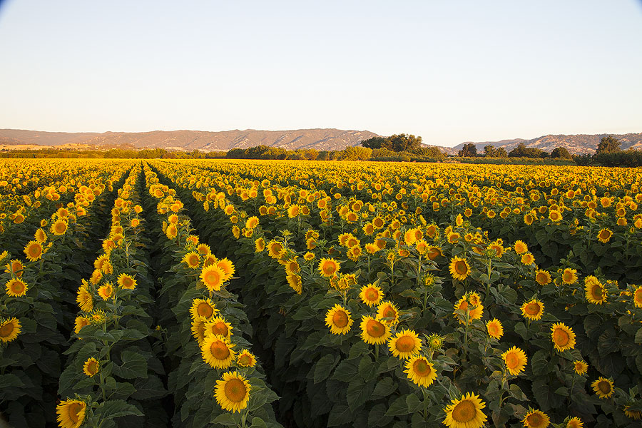 Sunflower Field Pass and Private Wine Tasting